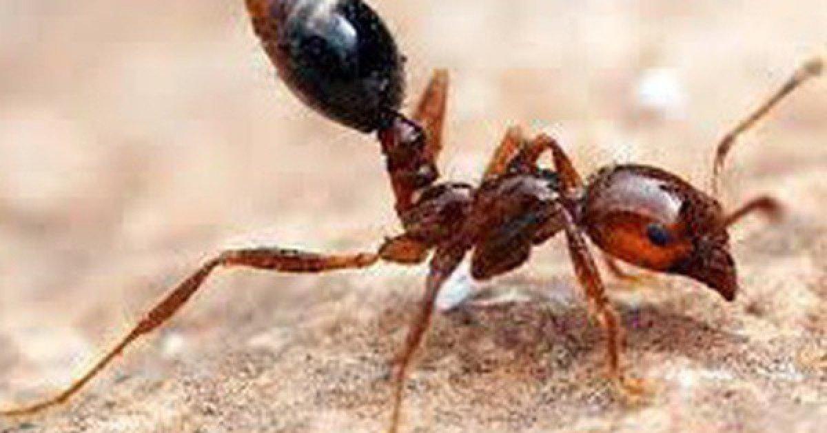 Tiêu diệt cả đàn kiến nhờ một ít hàn the, khó tin nhưng có thật
