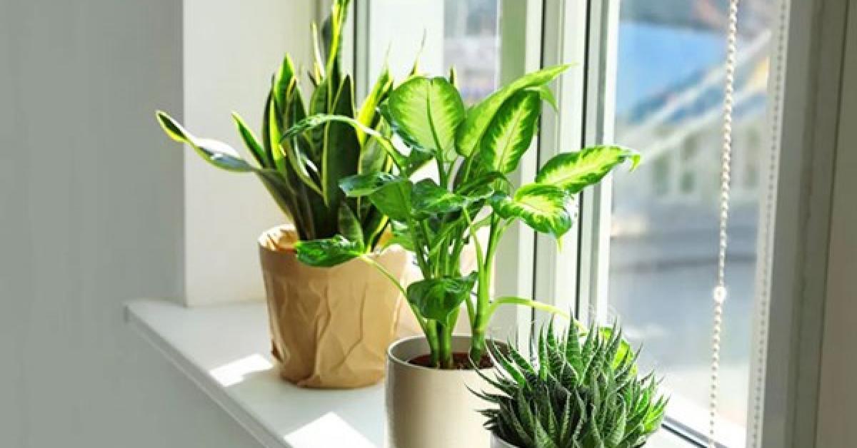 Cách chăm sóc giúp cây để bàn xanh tốt, không bị vàng lá, úng nước