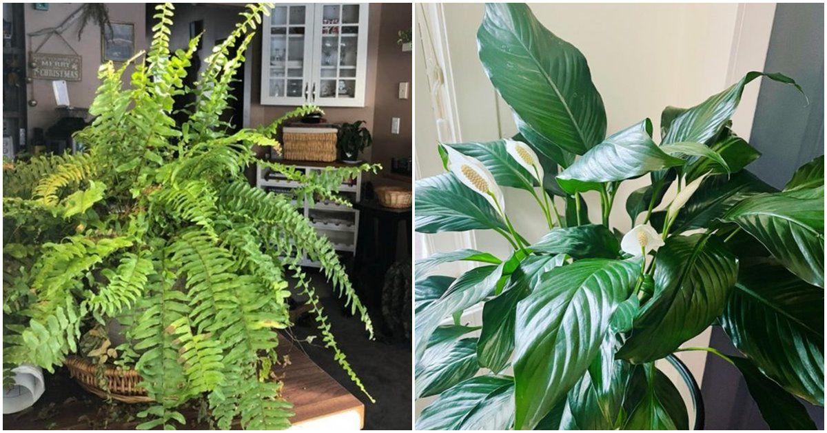 Những loại cây trồng trong nhà có tác dụng hút ẩm, chống nồm, nhà nào cũng nên có một cây