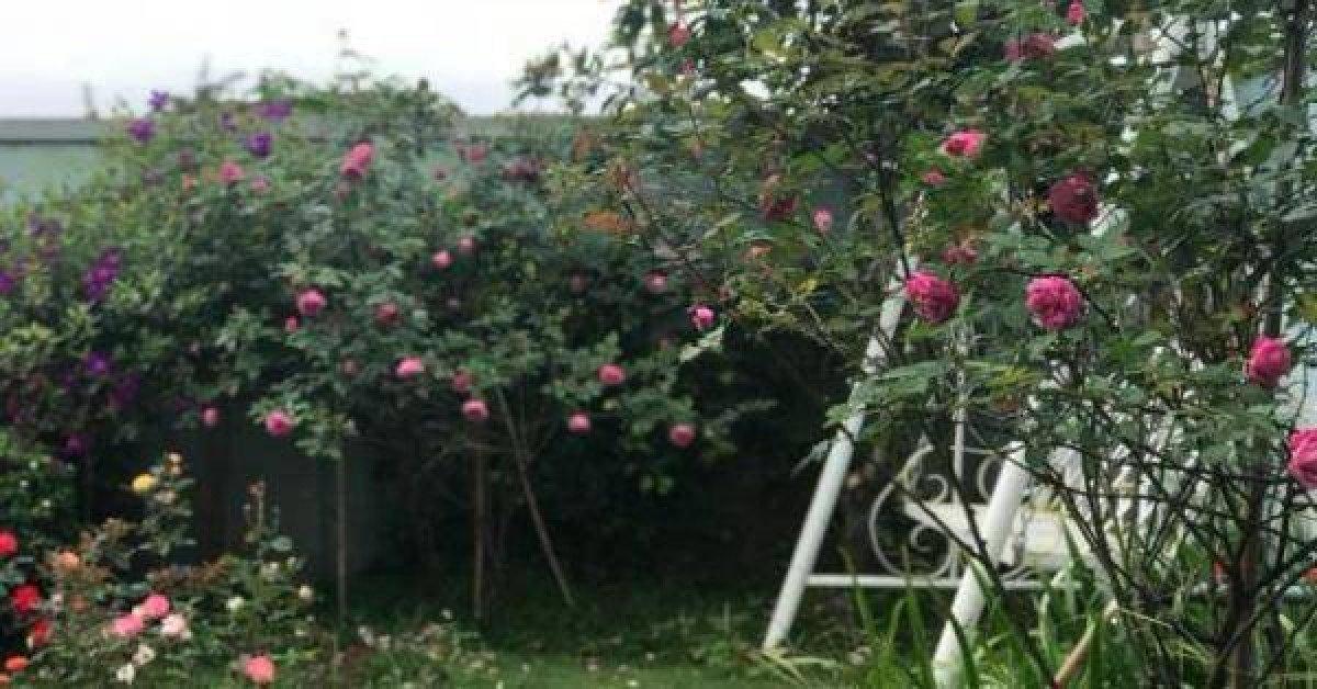 Triệu đóa hồng khoe sắc trong khu vườn 600m2 của cô giáo dạy Văn ở Đà Lạt