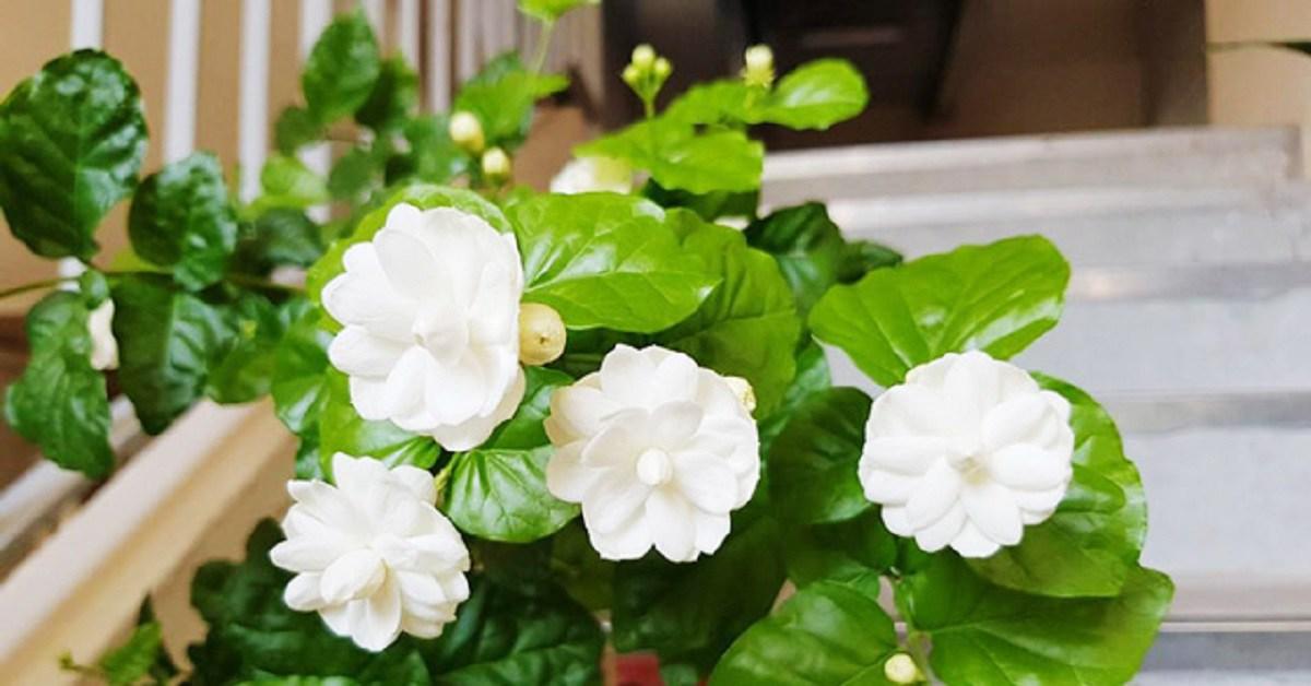 Cắt cành hoa nhài và rắc một ít phân vào bọng, hoa nhài nở nhiều và thơm hơn bình thường