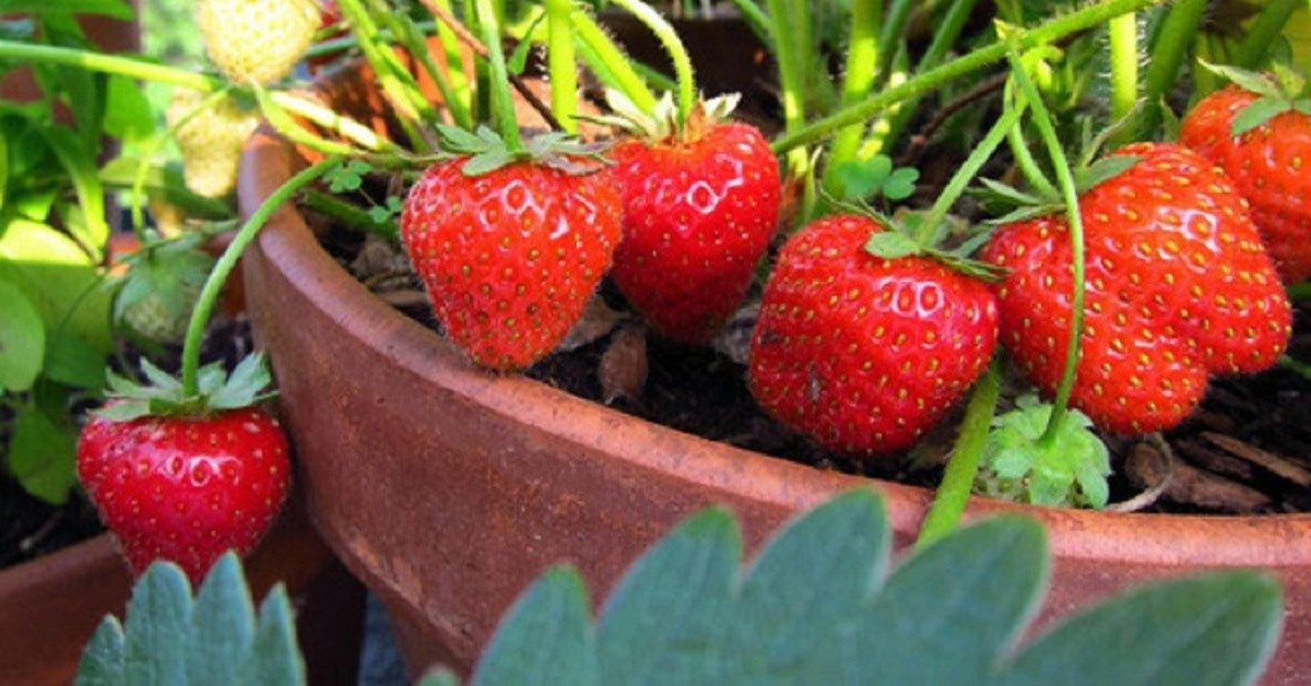 Cách trồng dâu tây vào mùa hè, nắng cháy da vẫn cho quả ngập cành