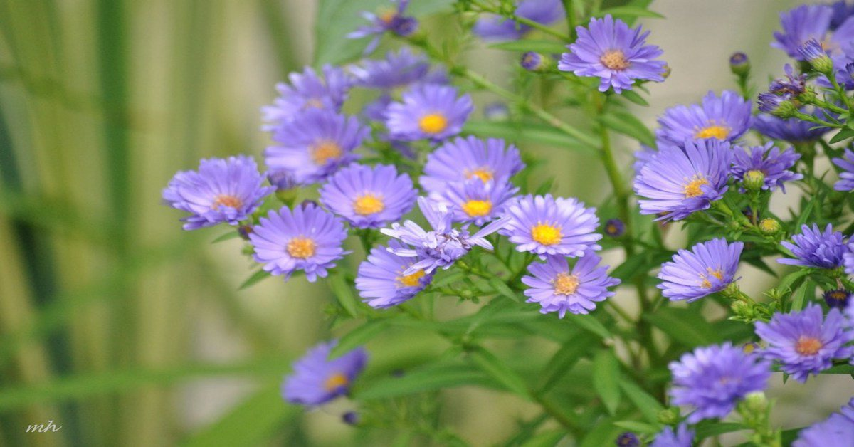 Cách trồng hoa thạch thảo tại nhà, đơn giản vẫn cho hoa tím cả vườn