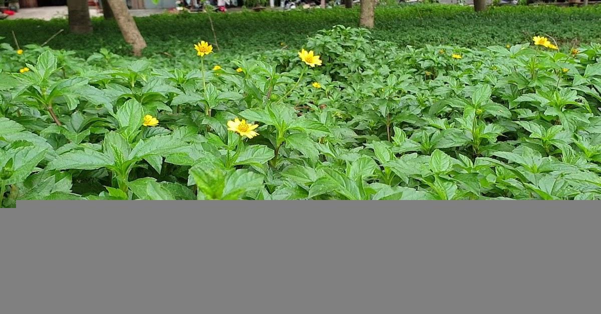 Những điều bạn cần biết về cây sài đất và cách trồng cây sài đất