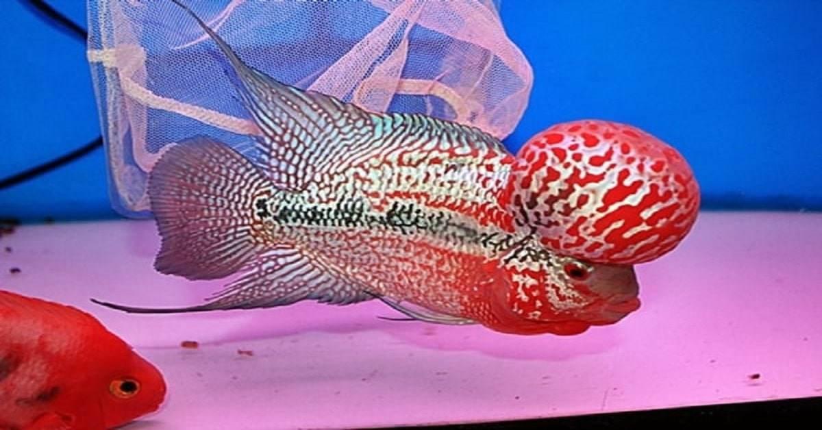 Cẩm nang nuôi cá La Hán sao cho vừa đẹp vừa khỏe