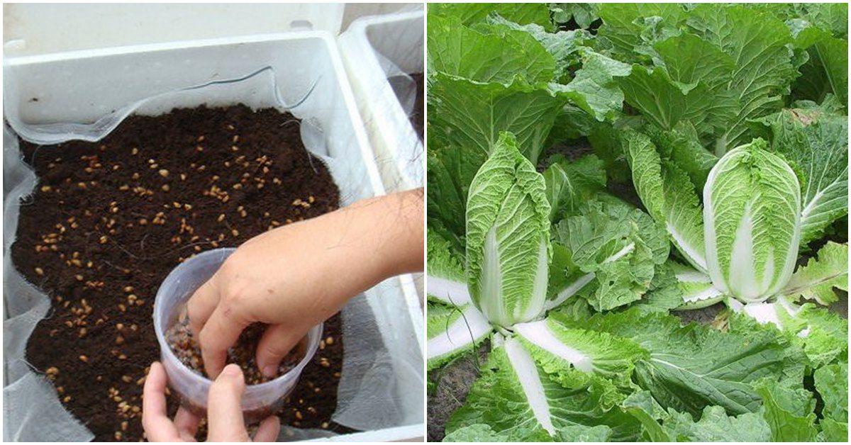 Cách trồng loại rau đặc trưng của Hàn Quốc lớn như thổi, chồng con thích thú