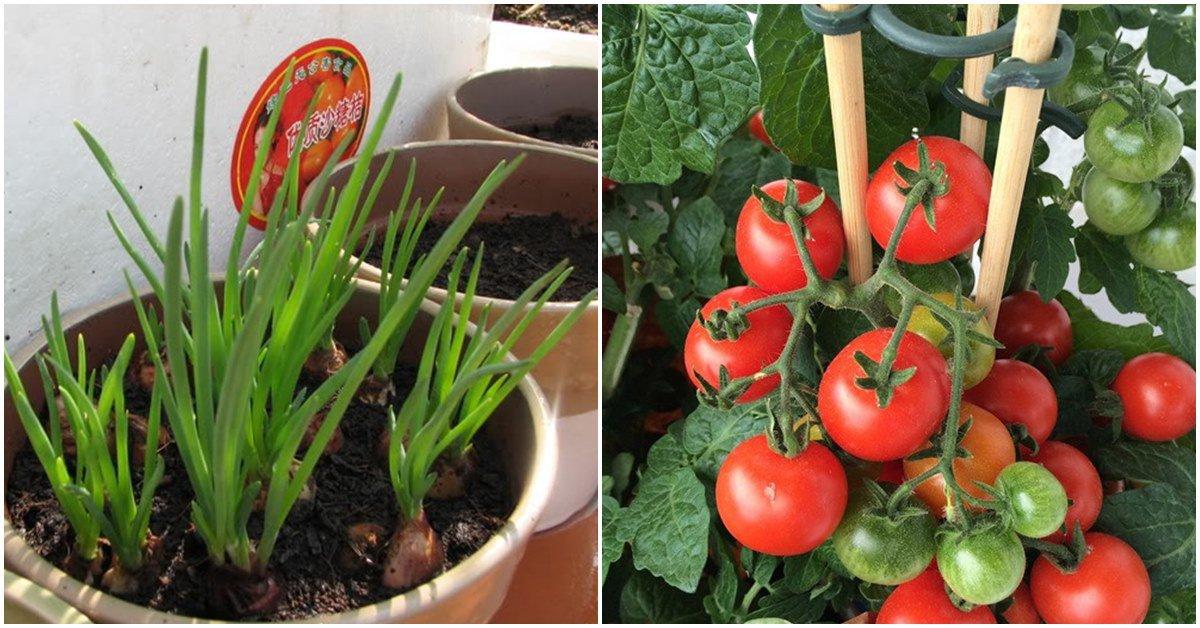 7 loại rau trồng trong nhà cũng sống, trồng 1 lần ăn quanh năm
