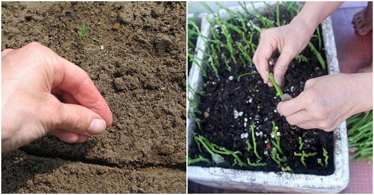 Cách trồng rau muống trên sân thượng siêu nhanh, 1 tháng đã dài cả gang tay