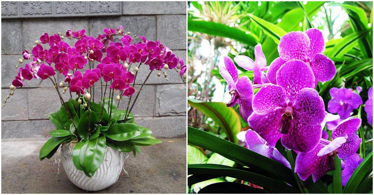 Cách kích thích rễ hoa lan tím cực dễ, 2-3 tuần hoa lại tuôn như suối