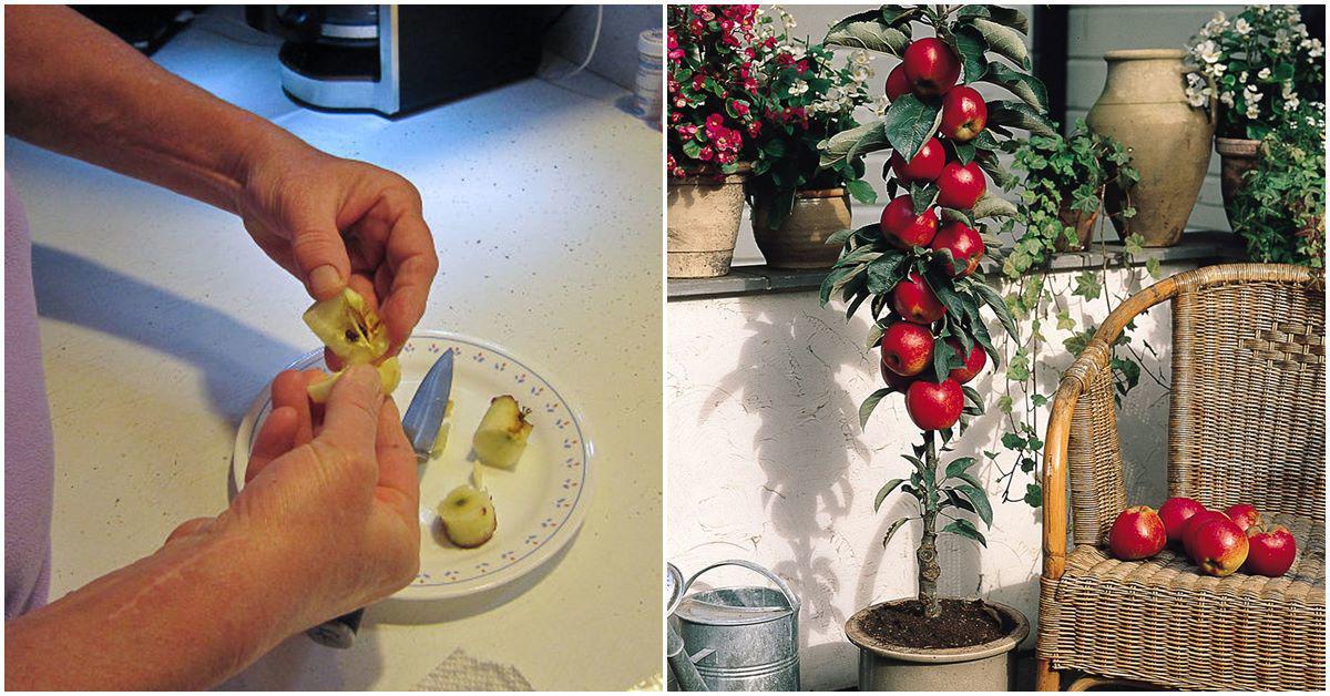 Ăn táo xong cho hạt xuống đất, ươm chơi chơi ai ngờ có quả ăn thật