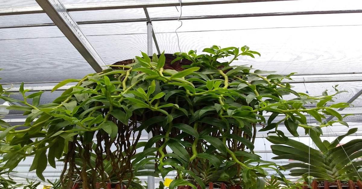 Cách trồng và chăm sóc lan hoàng thảo vôi tại nhà hoa tuôn như suối