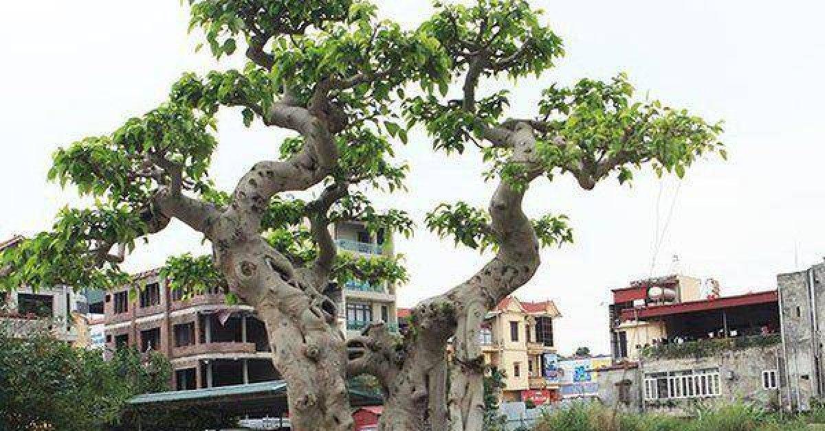 """Cận cảnh cây sanh cổ """"ngai vàng"""" chủ nhân mất 6 lô đất đổi lấy cây"""