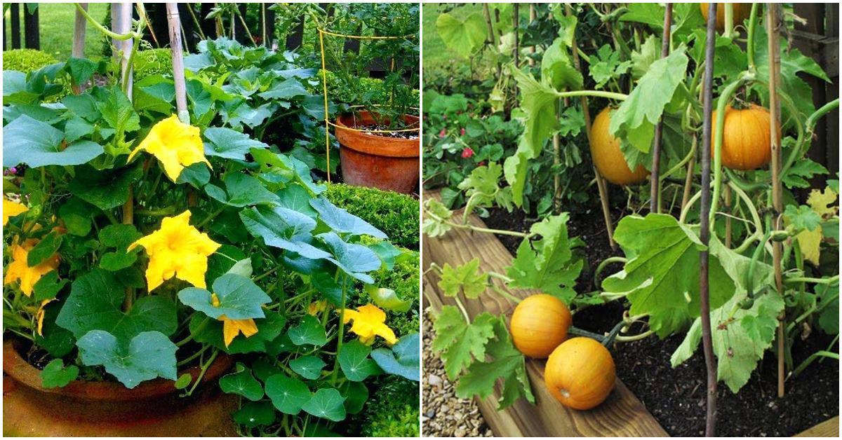 Rảnh rỗi tự học cách trồng bí ngô trong chậu, quả ra ăn quanh năm không hết